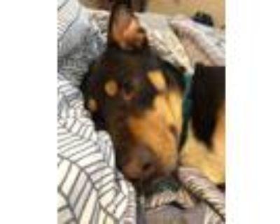 Adopt Maggie a Doberman Pinscher, Australian Kelpie