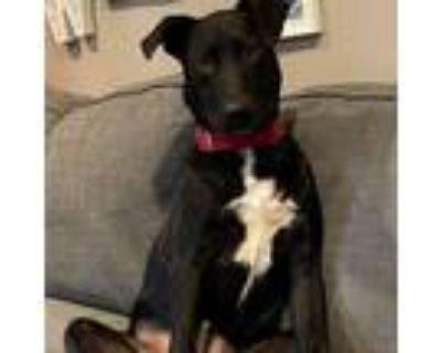 Adopt Cayson Limerick a Labrador Retriever