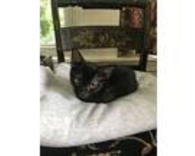 Odin, Domestic Shorthair For Adoption In Medford, Massachusetts
