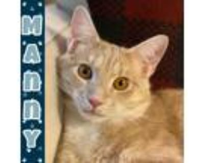 Adopt Manny 2 a Tan or Fawn Tabby Domestic Shorthair (short coat) cat in