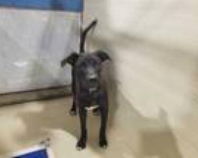 Adopt *GUS a Black Labrador Retriever / Mixed dog in Bakersfield, CA (32036891)