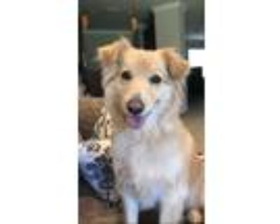 Adopt Wynn a Tan/Yellow/Fawn Border Collie / Goldendoodle / Mixed dog in Cape