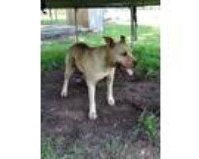 Adopt Courtesy - Axel a Tan/Yellow/Fawn American Pit Bull Terrier / Mixed dog in