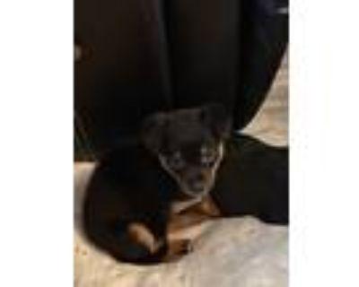 Adopt Barney a Tricolor (Tan/Brown & Black & White) Miniature Pinscher / Mixed