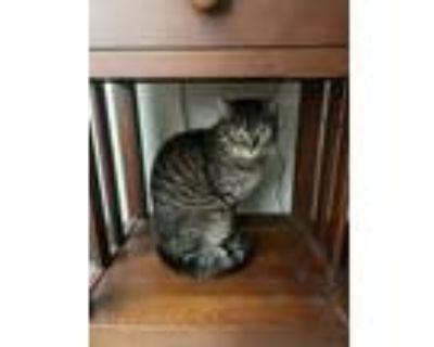 Adopt Beka a Gray, Blue or Silver Tabby American Shorthair / Mixed (short coat)