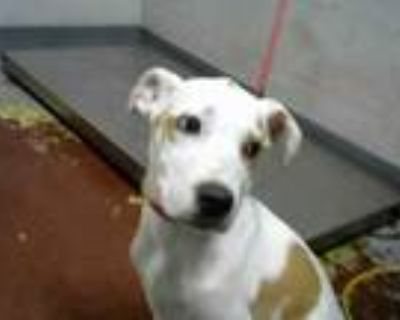 Adopt SPECKLES a Pointer, Mixed Breed