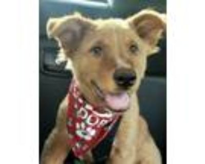 Adopt Nissan a Collie, Mixed Breed