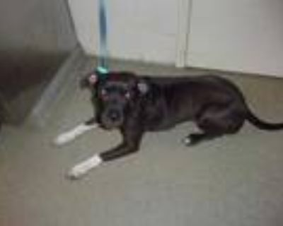 Adopt Shelby a Black American Pit Bull Terrier / Mixed dog in Chesapeake