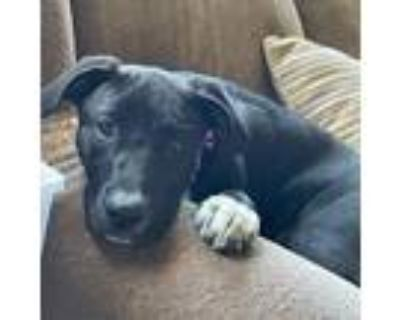 Adopt Dolce a Black German Shepherd Dog / American Pit Bull Terrier / Mixed dog