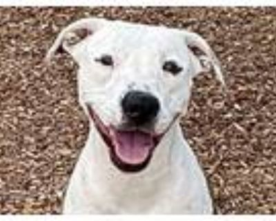 Adopt DOLLA a Pit Bull Terrier, Mixed Breed