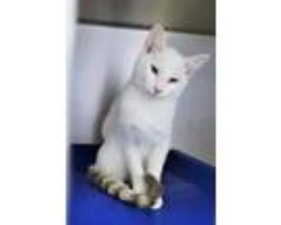 Adopt Kit Kat a White Domestic Shorthair / Domestic Shorthair / Mixed cat in