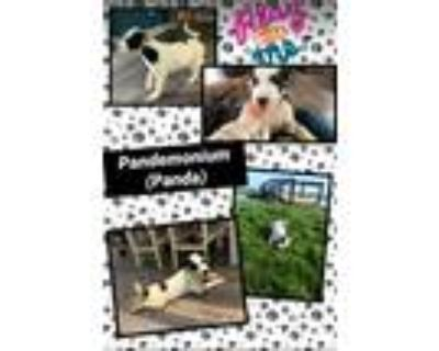 Adopt Panda a White - with Black Border Collie / Fox Terrier (Smooth) / Mixed
