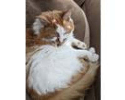 Adopt Sanchez a White (Mostly) Domestic Longhair / Mixed (long coat) cat in