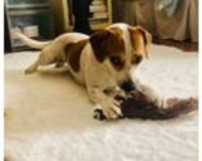 Adopt Daisey a Brown/Chocolate - with White Beagle / Hound (Unknown Type) /