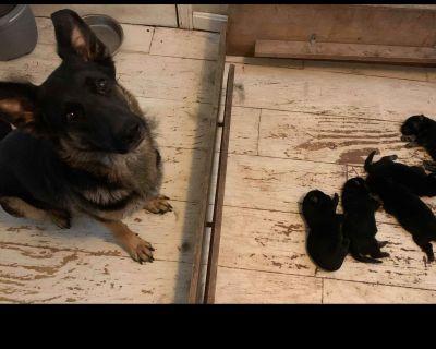 German Shepherd  Puppies 502-510-4953