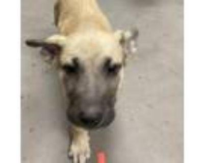 Adopt Stanley a Tan/Yellow/Fawn Shepherd (Unknown Type) dog in Yuma
