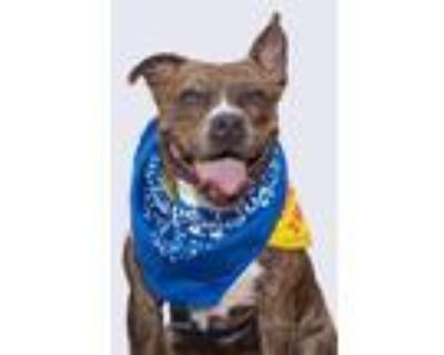 Adopt Cookie a Pit Bull Terrier, Boxer