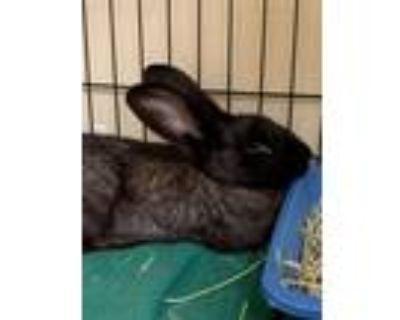 Adopt 2107-0582 Bernie (Available 7/18) a Bunny Rabbit