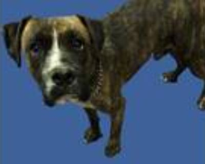 Adopt *SAMSON a Brindle - with White Boxer / Mixed dog in Long Beach
