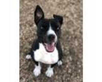 Adopt DANI a Pit Bull Terrier, Mixed Breed