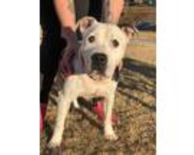 Adopt Bambam a White American Pit Bull Terrier / Mixed dog in Anderson