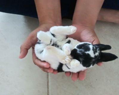 Mini Rex Rabbits Bunnies Bunny Rabbit