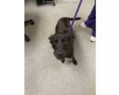 Adopt LIZZY a Black Labrador Retriever / Mixed dog in Lincolnton, NC (31601713)