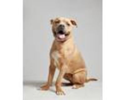 Scrappy, American Staffordshire Terrier For Adoption In Palm Springs, California