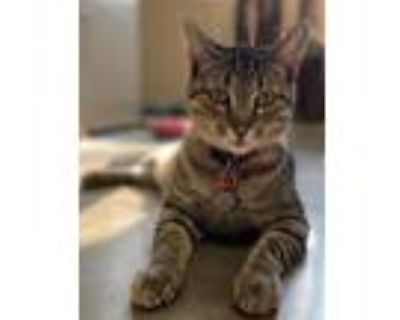 Adopt Max (Cabernet) a Brown or Chocolate Domestic Shorthair / Domestic