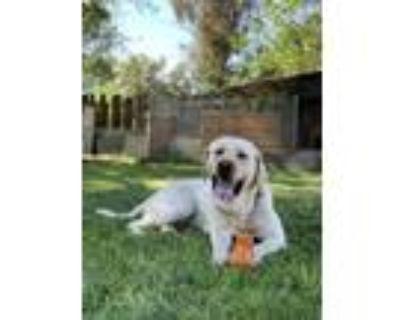 Adopt Eminem a White Labrador Retriever / Mixed dog in Chico, CA (31618828)