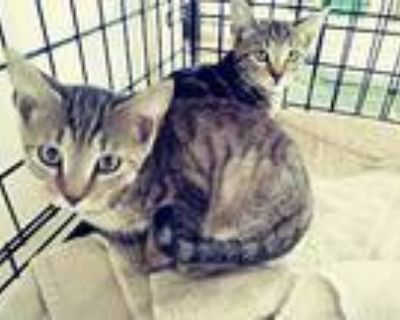 Meet The Six Pack!!! Kittens, American Shorthair For Adoption In Ft Myers Beach