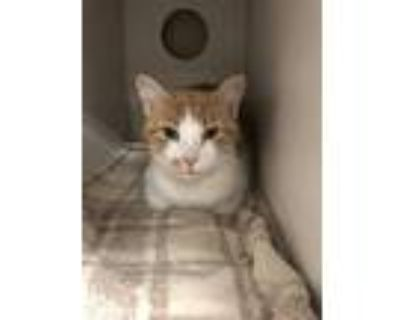 Adopt Rayne a Orange or Red Domestic Shorthair / Domestic Shorthair / Mixed cat