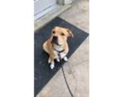 Adopt KC a Tan/Yellow/Fawn - with White American Pit Bull Terrier / American