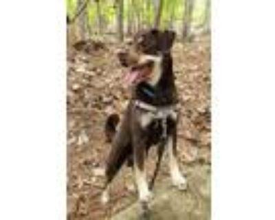 Adopt Mister Jackson a Brown/Chocolate - with Tan Labrador Retriever / Husky /