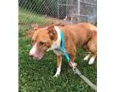 Adopt Judy a Brown/Chocolate American Pit Bull Terrier / Mixed dog in Shelby