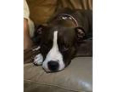 Juno!!, American Pit Bull Terrier For Adoption In Citrus Heights, California