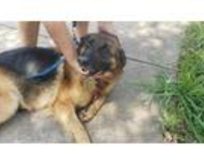 Adopt 47971238 a Black German Shepherd Dog / Mixed dog in Fort Worth