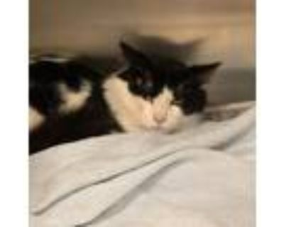 Adopt Barry a All Black Domestic Longhair / Mixed cat in Waldorf, MD (32120543)