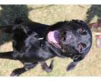 Adopt Bear a Black Labrador Retriever / Mixed dog in Abbeville, LA (31962214)