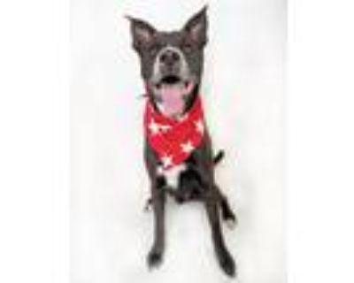 Adopt ONYX a Black - with White Labrador Retriever / Australian Kelpie / Mixed
