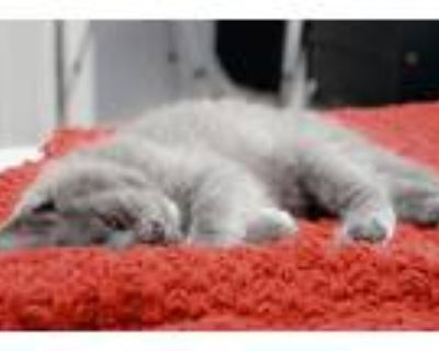 Adopt Huckleberry a Gray or Blue Domestic Longhair / Mixed (long coat) cat in