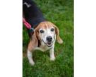 Adopt Mr Beagle a Brown/Chocolate Beagle / Mixed dog in West Chester