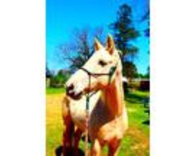 Adopt Sadie a Palomino Saddlebred horse in Cumming, GA (25016881)