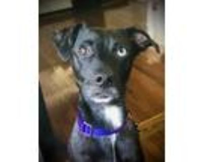 Adopt Penny a Black Feist / Catahoula Leopard Dog / Mixed dog in Chester