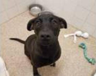 Adopt DASHER a Black Labrador Retriever / Mixed dog in Albuquerque