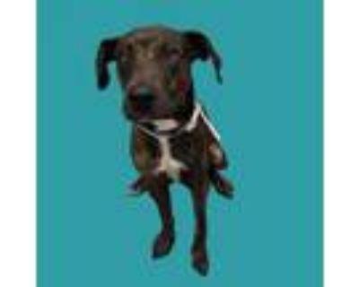 Adopt BENTLEY a Labrador Retriever, Boxer