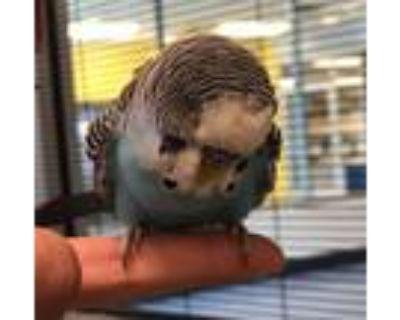Adopt a Parakeet - Other bird in Golden, CO (32054627)