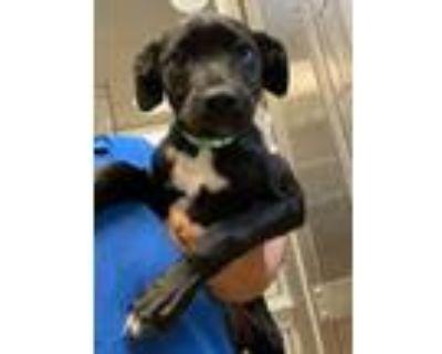 Adopt Einstein a Blue Heeler / Terrier (Unknown Type, Medium) / Mixed dog in