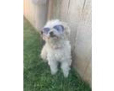 Adopt Mandy a White Poodle (Toy or Tea Cup) / Mixed dog in Van Nuys