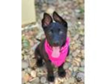 Adopt Faith a Black Shepherd (Unknown Type) / Mixed dog in Anza, CA (31638199)